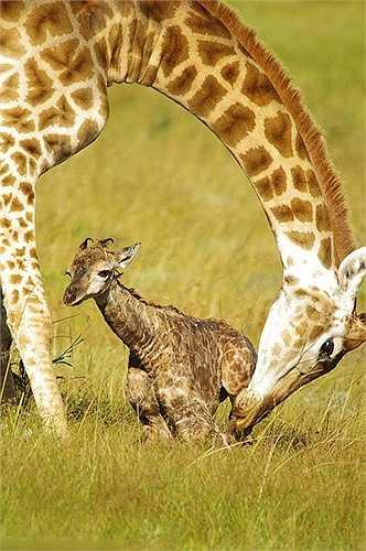 Hươu mẹ che chở cho hươu con trong những giây phút đầu đời, sau đó hươu con sẽ bú sữa mẹ