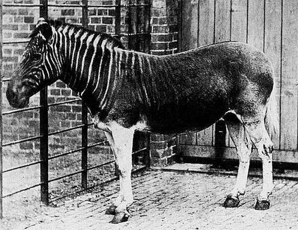 Loài ngựa đặc biệt với phần thân trước có kẻ sọc giống ngựa vằn nhưng đằng sau lại là ngựa thường được chụp vào năm 1870 tại vườn thú London của Công viên Regent. Đây cũng là bức ảnh cuối cùng của loài động vật đã bị tuyệt chủng này.