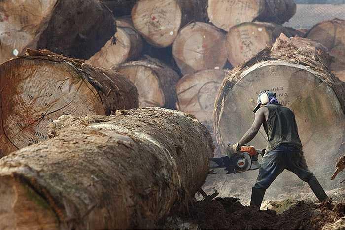 Ngành công nghiệp khai thác gỗ có tỉ lệ tử vong cao nhất Mỹ. Nguy cơ tử vong cao hơn 30 lần so với các ngành nghề khác. Hầu hết các trường hợp tử vong xuất phát từ lỗi thiết bị hoặc cây ngã đè lên người lao động.