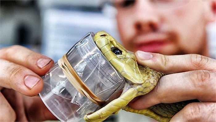 Công việc lấy nọc rắn rất nguy hiểm nhưng lại hoàn toàn cần thiết để cứu mạng sống của nhiều người mỗi năm. Trong khi quy trình an toàn luôn được tuân thủ nhưng trong quá trình làm việc vẫn tồn tại các yếu tố rủi ro cao. Thực ra, rất ít người không bị rắn cắn khi làm công việc này.