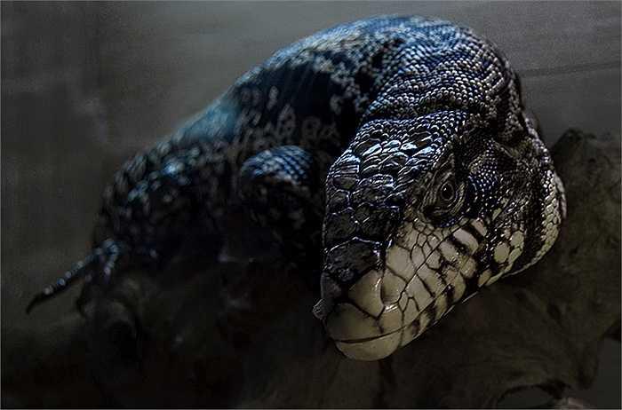 Thằn lằn khổng lồ đến từ vùng Nam Mỹ có tên gọi Tegu. Chúng từng rơi vào nghi vấn là một sinh vật huyền bí với bộ dạng ma quái, chưa từng được biến đến ở hồ Thetis, Canada.