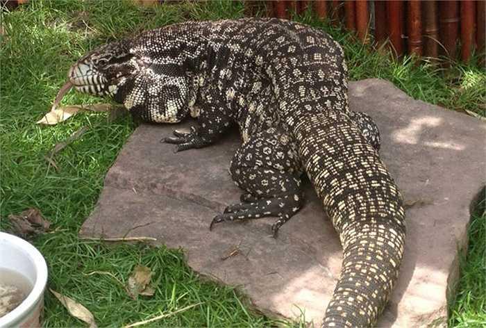 Người dân vùng Nam Mỹ có nhiều chuyện hãi hùng về những con Tegu khổng lồ tấn công người để ăn thịt. Sự thật, Tegu đã từng ăn thịt người.