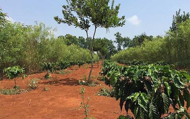 Cây cà phê 'chung sống hòa bình' trên cùng một khu đất với mắc ca, nhờ trồng xen canh. Đây cũng là phương pháp trồng chủ yếu hiện nay đối với cây này tại Tây Nguyên, nhờ cây có khả năng chịu hạn tốt, dễ sống, không cần chăm bón nhiều, đồng thời có thể 'che chở' cho cà phê, vì cà phê cần bóng mát.