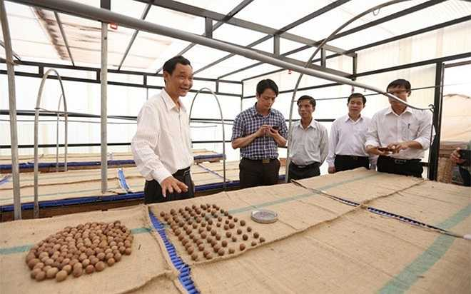 Tỷ lệ nhân trên hạt của mắc ca khoảng 1/3, tức cứ 3 kg hạt thì cho 1 kg nhân. Việc chế biến có thể làm tăng giá trị hạt thô lên từ 3-5 lần.