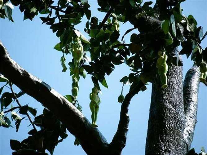 Loại cây 'Nareepol Tree' ở Thái Lan đặc biệt có quả hình dáng phụ nữ khỏa thân