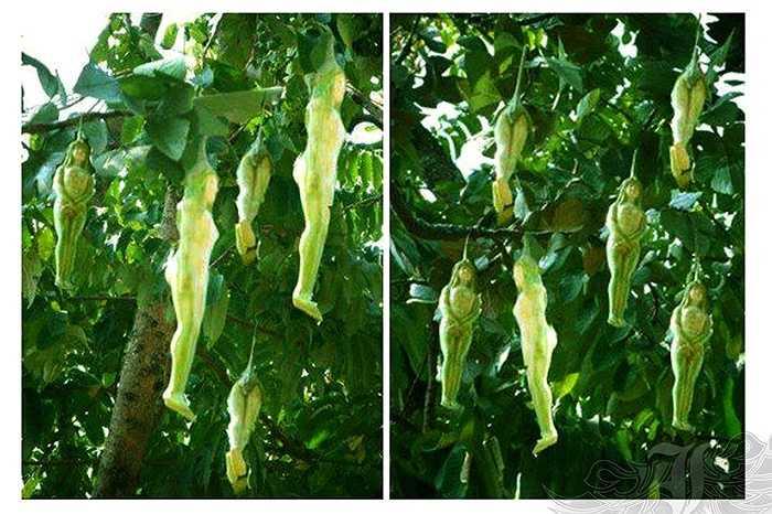 Có thông tin nói, giống cây này chỉ mọc ở vùng Petchaboon - cách Bangkok (Thái Lan) hàng trăm km
