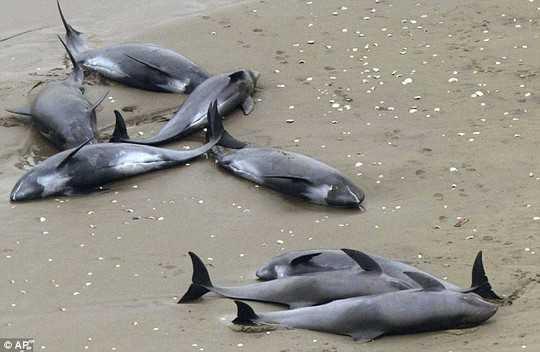 Hơn 150 con cá heo đã mắc cạn trên bờ biển Nhật Bản hôm 10/4