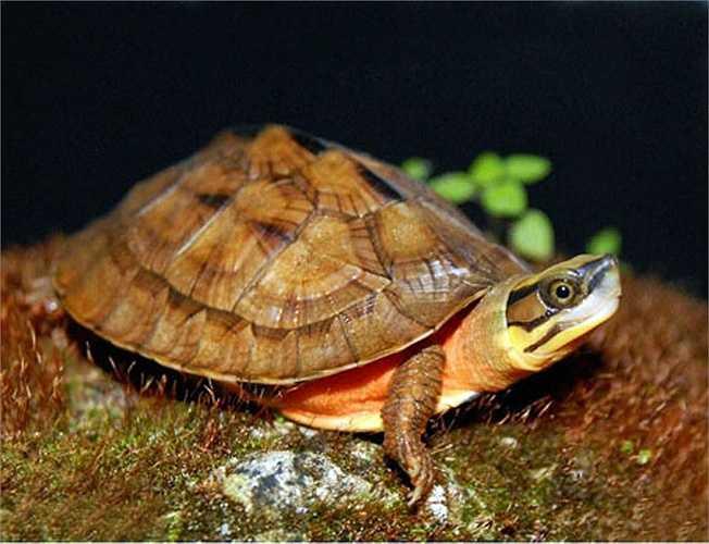 Nhưng những kẻ săn trộm và giới buôn lậu chỉ gọi chúng bằng một cái tên đơn giản và cũng không thể phù hợp hơn: rùa vàng.