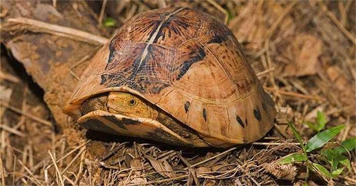Tại Việt Nam, rùa hộp ba vạch phân bố ở một số tỉnh miền núi phía Bắc. Chúng vốn có nhiều ở dãy núi Trường Sơn, kéo dài vào tận Tây Nguyên.