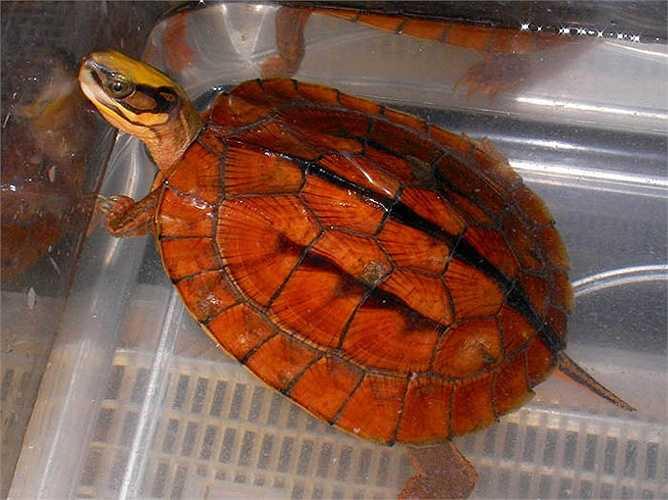 Rùa vàng ăn các loại quả, lá cây, các loại rong, bèo mọc ở suối và các khe rãnh, sâu bọ.