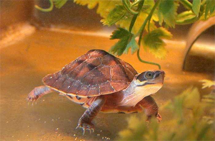 Thợ săn nghi ngờ vùng nào có rùa vàng, họ sẽ rải xác thối để nhử rùa vàng bò ra khỏi hang động, khe suối.