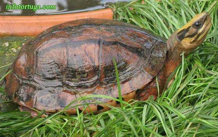 Điểm nhận dạng đặc trưng của loài rùa này là trên mai có 3 vạch màu xám đen, chạy theo 3 gờ nổi (1 gờ ở sống lưng, 2 gờ 2 bên). Điều này lý giải cho cái tên của chúng.