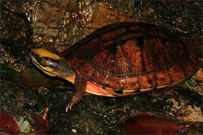 Có người quan niệm rùa vàng sống ở núi cao, hấp thụ linh khí của trời đất nên máu thịt tinh khiết, đại bổ ăn vào tăng cường sinh lực.