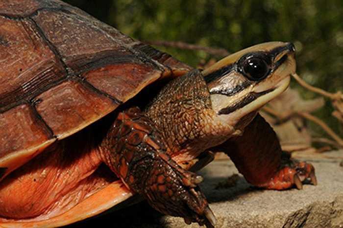 Lại có tin đồn những người mắc bệnh tim nếu uống rượu pha mật, huyết rùa vàng sẽ khỏi ngay.