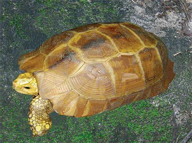 Bất chấp việc nhiều thợ săn đã bỏ mạng nơi rừng già, họ vẫn lội rừng tìm vận may. Nếu không có biện pháp bảo vệ kiên quyết, loài rùa vàng sẽ biến mất vĩnh viễn không chỉ ở núi rừng Việt Nam, mà cả trái đất cũng không còn.