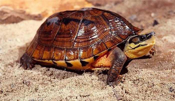 Chính vì thế, từ một loài bò sát khá phổ biến ở núi rừng Việt Nam, giờ loài rùa này đã gần như tuyệt chủng khỏi thiên nhiên.