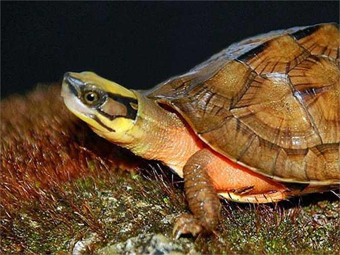 Chúng hiếm đến nỗi, nhiều nhà khoa học nghiên cứu về rùa cũng chưa từng được tận mắt loài rùa quý hiếm này.