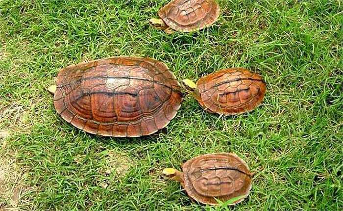 Càng ngày càng khan hiếm, giá trị của chúng được đẩy lên cao một cách khó tin. Hiện giá của loài rùa này vào khoảng 300 triệu đồng một kg.