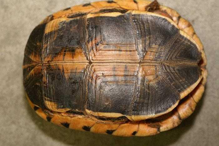 Hiện các nhà khoa học vẫn chưa biết rõ người Trung Quốc sử dụng loài rùa này làm gì.