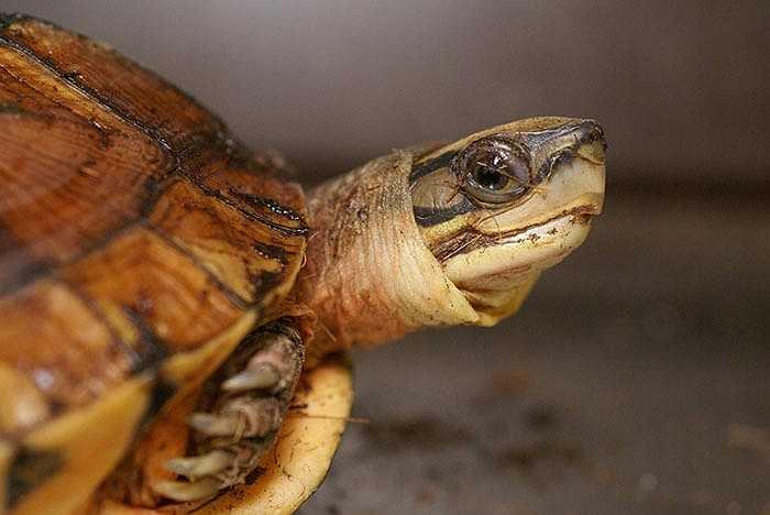 Chỉ có tin đồn rằng họ chế biến mai rùa vàng thành nhiều vị thuốc quý, giành cho giới quý tộc.