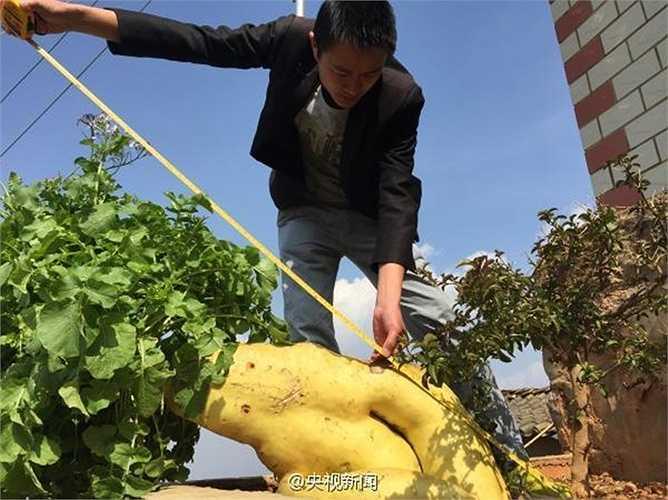 Chiều dài của củ cải này lên đến 1,2m, kích thước lớn phải 1 người ôm mới xuể