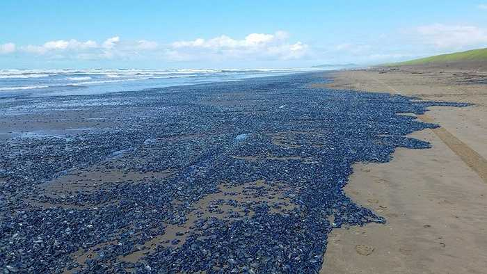 Hàng ngàn sinh vật nhỏ có hình thù giống sứa đã đổ bộ vào bờ biển ở bang Oregon, California và Washington của Mỹ.