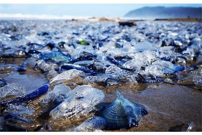 Chúng lúc nhúc trong cát ướt hoặc đè lên nhau vì quá đông. Chúng bò lên các chỏm đá và dần di chuyển vào sâu trong bờ.