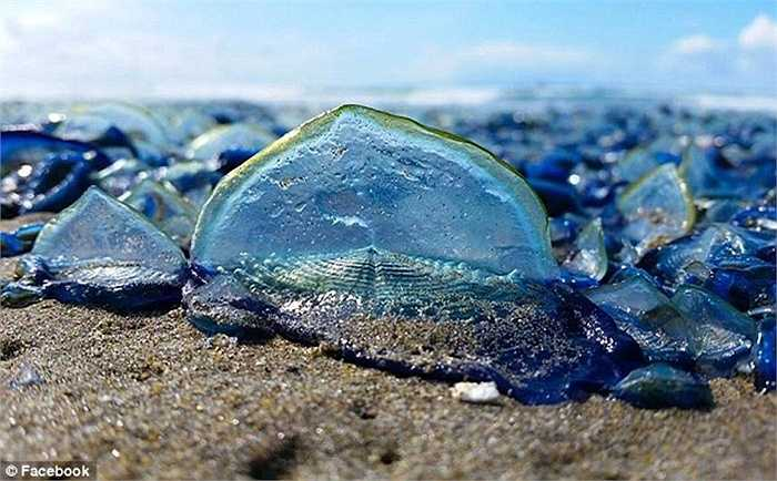 Nhiều người cho rằng các sinh vật lạ này sẽ làm cho bãi biển trở nên đẹp hơn vì màu sắc của nó, tuy nhiên người dân địa phương ở đây lại kêu rằng mùi của chúng lại cực kỳ kinh khủng chứ không được 'thơm tho' như vẻ bề ngoài...