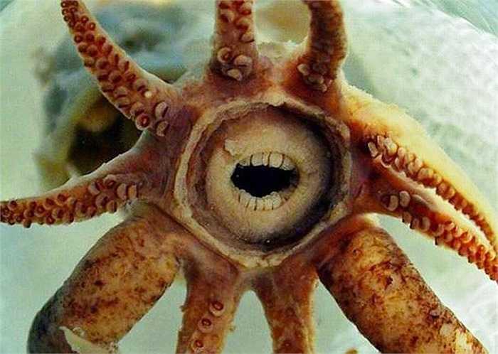 Loài mực Promachoteuthis Sulcus hiếm có sống ở độ sâu 2000m dưới Đại tây Dương. Chúng đặc trưng bởi hàm răng giống con người một cách hoàn hảo. Nó là sinh vật các thợ lặn không bao giờ muốn chạm mặt.