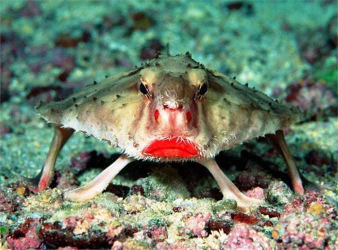Cá dơi môi đỏ còn được gọi là Galapagos batfish, là loài cá nhỏ với đôi môi lòe loẹt. Chúng không phải loài cá bơi giỏi nên buộc phải sử dụng vây để bước đi dưới đáy biển.