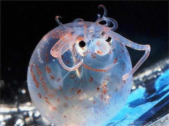 Mực Piglet thực sự khiến người ta liên tưởng đến hình ảnh một chú heo con trong hình hài một con mực. Loài vật này sống dưới độ sâu 1000m và đạt chiều dài thân chỉ 10cm. Cơ thể của chúng như một cái phễu nhỏ và sử dụng vây để bơi từ từ trong nước.