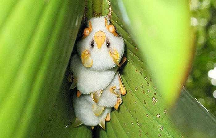 Đây là loài dơi dễ thương hiếm hoi mà ít người biết đến. Với bộ lông màu trằng mượt, đôi tai và mũi màu vàng, chúng giống như được lai tạo giữa một con chuột bạch và viên kẹo dẻo.