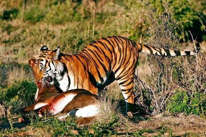 Hổ là một trong những loài thú ăn thịt tàn bạo nhất trong vương quốc động vật. Chúng hội tụ đầy đủ những yếu tố của một kẻ săn mồi hung ác, bao gồm sức mạnh, khéo léo, tốc độ, kiêu ngạo và sự xảo quyệt.