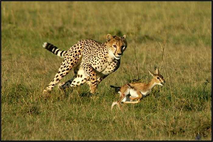 Với tốc độ trung bình 70km/h và có thể đạt tới 120 km/h, những con mồi đã vào tầm ngắm của báo săn rất khó thoát.