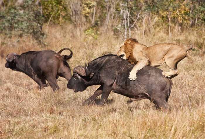 Đối với sư tử, trâu rừng là con mồi hấp dẫn nhưng cũng vô cùng nguy hiểm.
