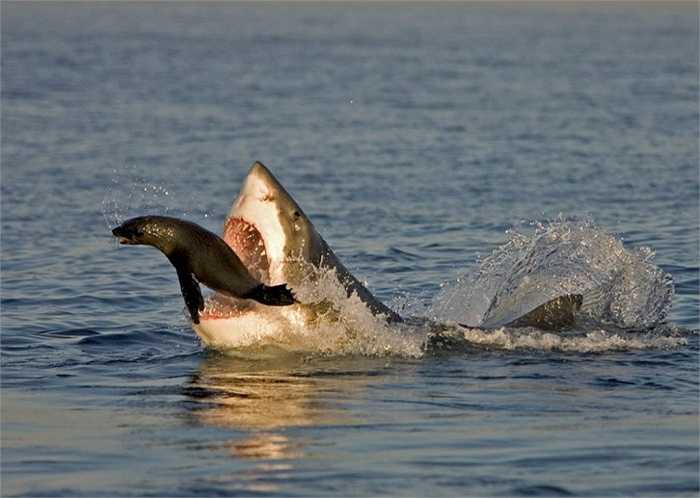 Khi đi kiếm ăn, cá mập huy động mọi giác quan: thị giác, khứu giác, vị giác, xúc giác và thính giác. Tiếng động từ xa hay cảm nhận về máu có thể thu hút nó tới chỗ con mồi tiềm năng.