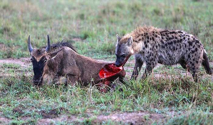 Linh cẩu đốm là động vật săn mồi đầy sức mạnh, ngang ngửa những ông chúa đồng cỏ như sư tử, báo đốm...