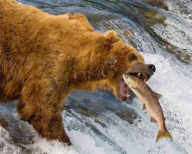 Cái chết đến với con mồi nhanh chóng khi gấu sử dụng bộ móng sắc và hàm răng cực khoẻ của chúng.
