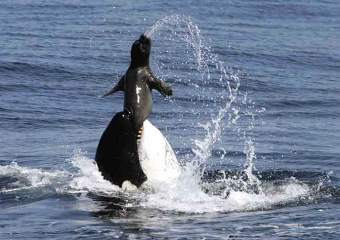 Cá hổ kình là loài cá voi ăn thịt hung dữ nhất đại dương. Chúng thường săn mồi theo bầy đàn từ những con cá nhỏ cho đến những con cá heo khác.