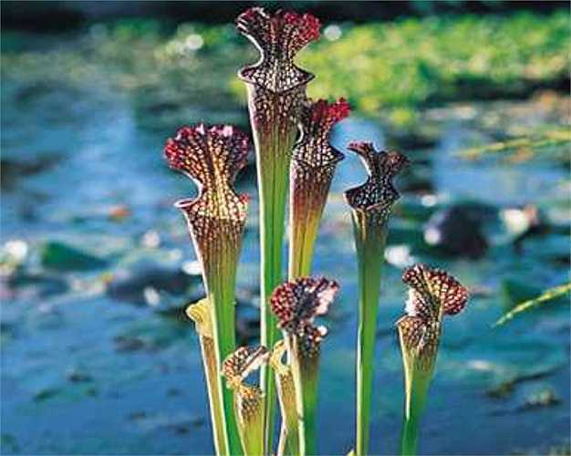 Cây hố bẫy có tên khoa học là Sarracenia, phiến lá của cây có nắp sặc sỡ như cái dạ dày, trong đó có nhiều tuyến tiết mật thu hút sâu bọ.