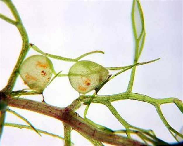 Utricularia được biết đến với cái tên bình dân là cây bong bóng. Nó sở hữu bẫy bắt mồi cực kỳ phức tạp, tuy có độ dài vài mm, nhưng tốc độ của nó nhanh đến nỗi mắt thường không thể quan sát được.
