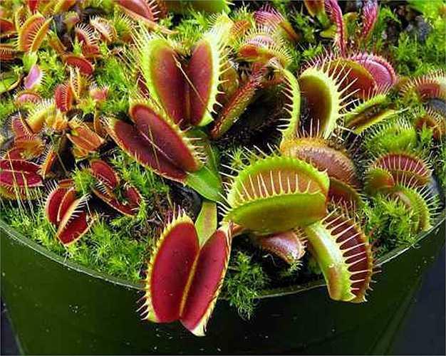 Cây bẫy ruồi có tên khoa học là Dionaea muscipula. Nó bắt và tiêu hoá con mồi bằng cái bẫy được tạo nên từ chiếc lá có hình hai nắp chai úp vào nhau với hàm răng tua tủa. Chỉ cần côn trùng đậu vào, lá cây lập tức ụp lại khiến cho côn trùng không thể thoát ra.