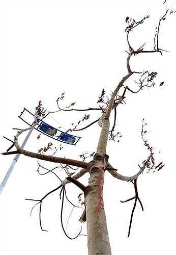 Đoạn qua cầu Đông Trù sang Bắc Thăng Long-Vân Trì (Hà Nội) dài khoảng 10km xuất hiện nhiều cây lá khô, cành héo.
