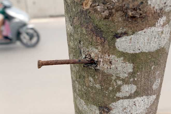 Lý giải về hiện tượng hàng loạt cây chết khô, ông Lê Văn Sỹ - Trưởng phòng Dự án 1, Ban quản lý dự án Hạ tầng Tả Ngạn (đại diện chủ đầu tư dự án đường 5 kéo dài) cho hay những cây bị chết chỉ chiếm số ít vì được trồng vào mùa đông. Nhiệt độ thấp ảnh hưởng đến sinh trưởng, ngoài ra có một số cây sức đề kháng kém nên đã bị chết.