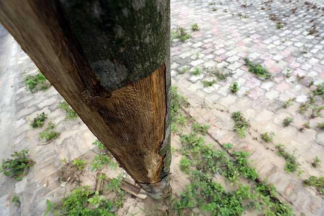 Mặc dù đang là tiết xuân, trời mát mẻ nhưng hàng chục cây bị tróc hết vỏ và không còn dấu hiệu của sự sống.