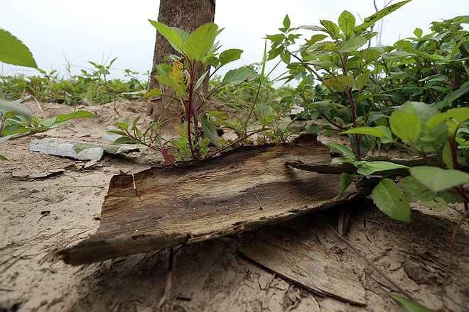 Lâu ngày, phần lớn vỏ trên những cây bị héo khô bong và rơi rụng xuống dưới gốc.