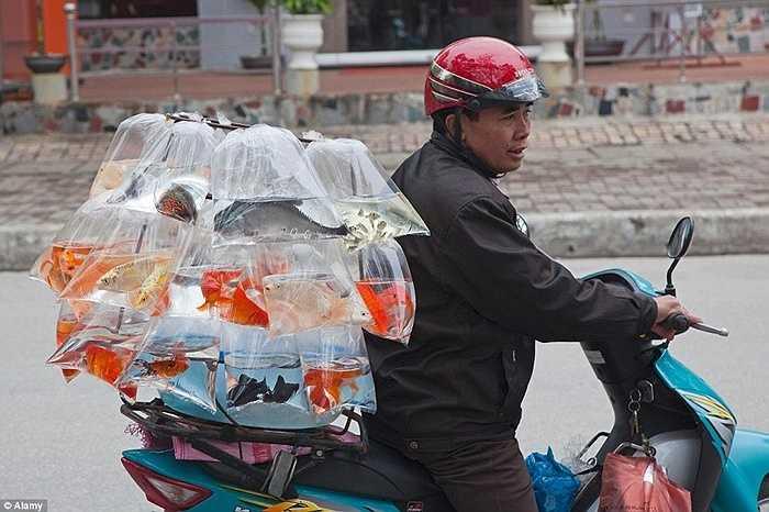 Những túi bóng đựng cá cảnh được buộc sau xe máy ở thành phố Hạ Long.