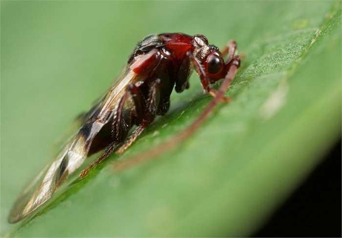 11. Bọ Loboscelidia Wasp. Loài bọ cực hiếm này không nguy hiểm nhưng trông khá dị dạng với hai chiếc sừng dài trên đầu