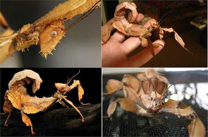 12. Côn trùng lá có gai (Spiny Leaf Insect). Loài vật này có bề ngoài quá lạ lẫm và may mắn là nó không hề gây độc hại đến con người. Nó được nhiều trẻ em ưa chuộng để làm vật nuôi trong gia đình. Tuy nhiên, con vật này khó bắt vì có thể lẩn trốn trong các tán cây một cách dễ dàng
