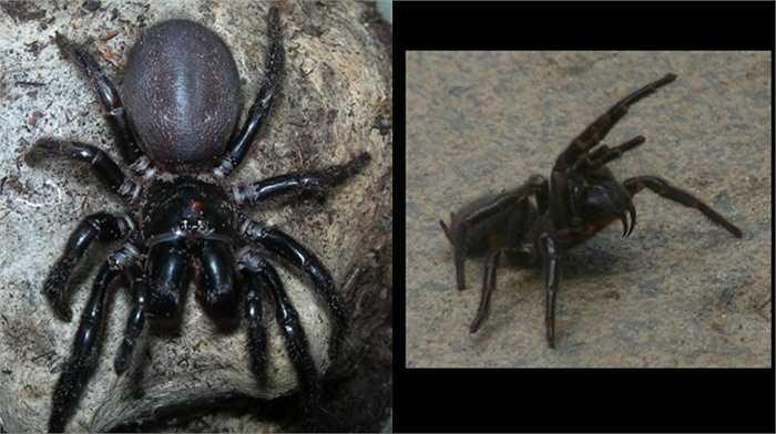 13. Sydney Funnel Web. Loài nhện này được coi là một trong những con vật độc nhất thế giới với nọc có thể giết người nhanh chóng. Đáng lo hơn là môi trường sống ưa thích của nó là khu vực đô thị ở Sydney, Australia